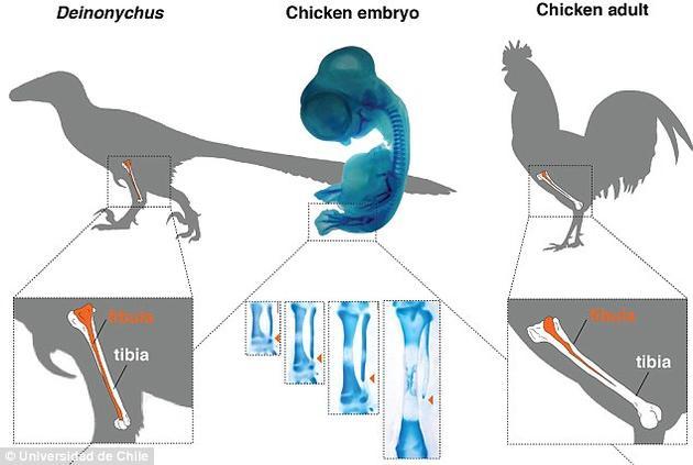 """为了获得类似恐龙骨骼的长骨,研究者抑制了一个名为""""印度刺猬""""(Indian Hedgehog,ihh)的基因,使鸡保留着管状的腓骨。此时这根腓骨变长,而且连接着脚踝,就像恐龙一样。"""