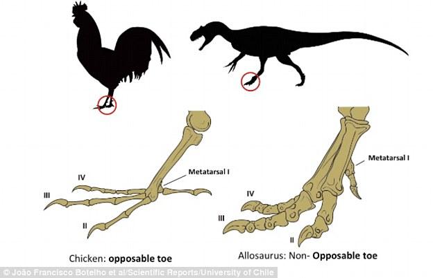 研究者成功推迟了鸟类胚胎的发育,发现第一个脚趾不能翻转,反而长得很像恐龙的脚趾。