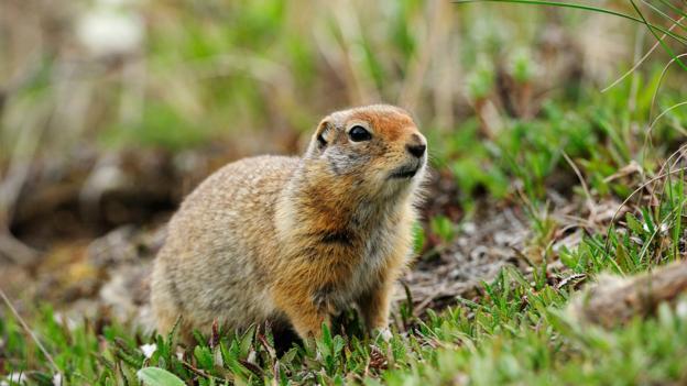 一只北极地松鼠正在寻找食物