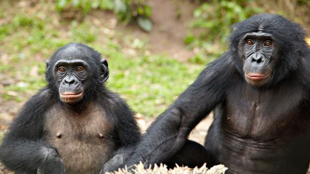 倭黑猩猩都是性爱狂?研究显示这可能是误解