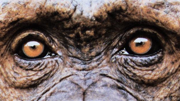 黑猩猩有时会谋杀其他同类