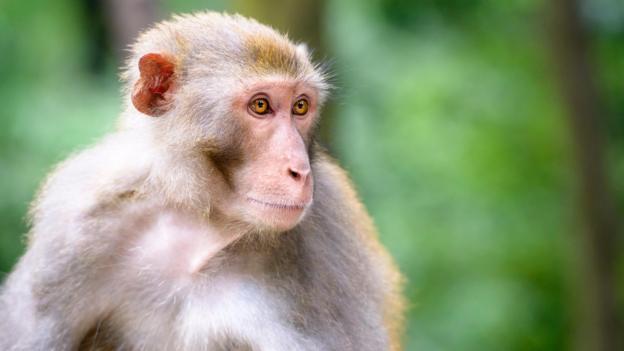 马基雅维利式的权谋行为是猴类本性的一部分