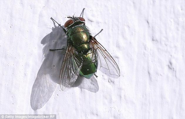 研究中所用的蛆虫是经过基因改造的丝光绿蝇(学名:Lucilia sericata)幼虫。这些幼虫生成和分泌的是血小板衍生生长因子-BB(platelet derived growth factor,PDGF-BB),能促进细胞生长和存活,推动愈合过程。