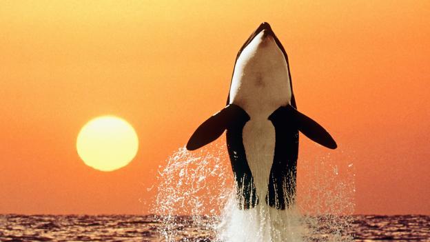 虎鲸跃出水面
