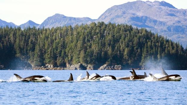 虎鲸能组成联系紧密的群体
