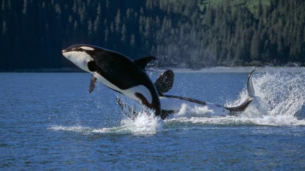 虎鲸跃出海面
