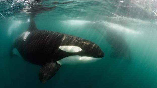 虎鲸能游动很长距离