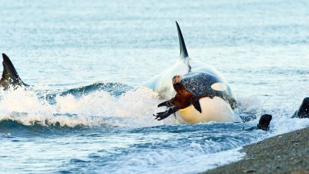 一头虎鲸正在捕食南海狮