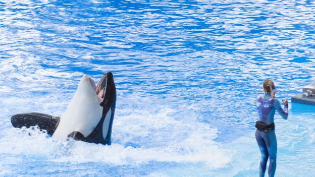 奥兰多海洋世界里的圈养虎鲸