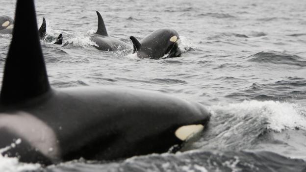虎鲸又被称为杀人鲸
