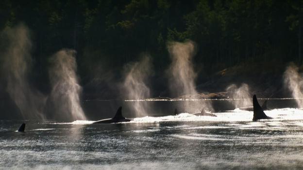纪录片《黑鲸》(Blackfish)中的野生虎鲸