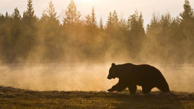 该地区还出现了棕熊的身影。