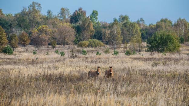 罕见的普氏野马在隔离区内繁衍生息。