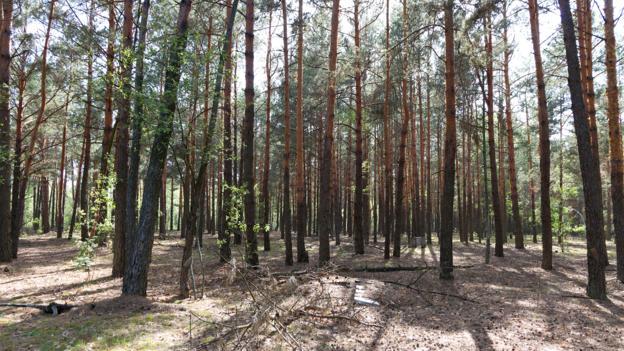 切尔诺贝利周围的森林已经重新焕发了生机。