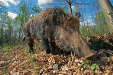 切尔诺贝利核事故对当地生物有啥影响?动物数量不降反升