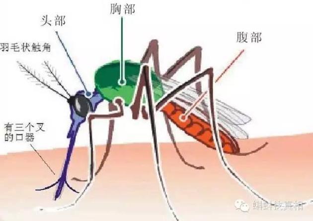 蚊子的身体结构
