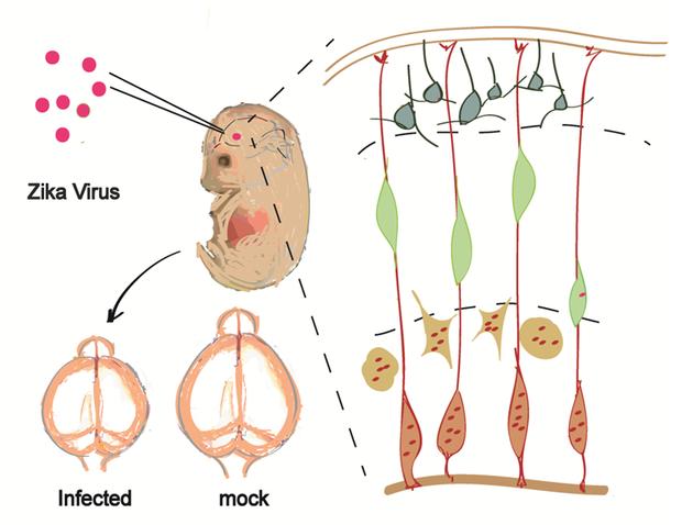 (图片来自Cell Stem Cell)