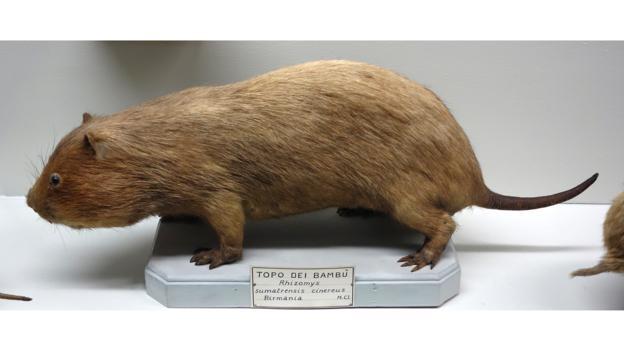 博物馆里的大竹鼠(学名:Rhizomys sumatrensis)标本