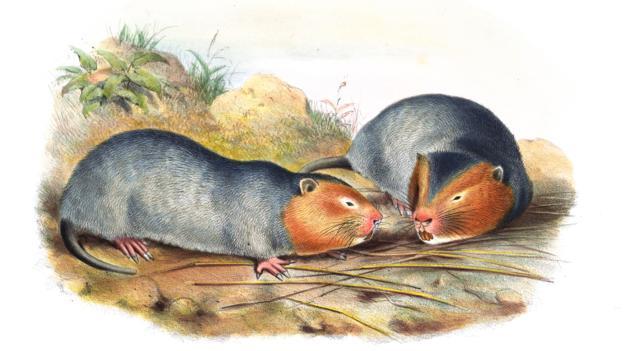 19世纪的雌性大竹鼠插画