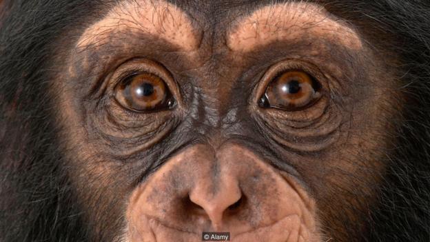 然而没有迹象证明,猴子、大猩猩和人类也能像老鼠一样,以相同的方式探测到这种化学物质的存在。