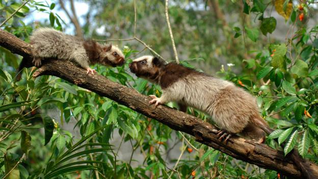白云鼠(学名:Phloeomys pallidus),左为幼年个体