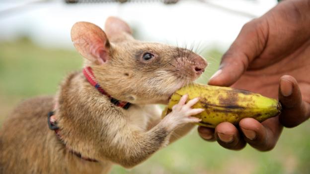 在地雷探测训练中,一只非洲大颊囊鼠(学名:Cricetomys gambianus)正接过奖赏