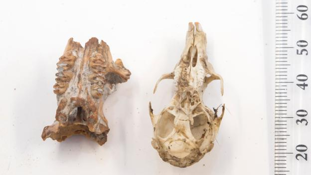 两件发现于东帝汶的大型老鼠头骨化石