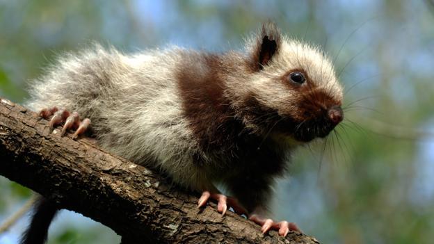 一只白云鼠(学名:Phloeomys pallidus)
