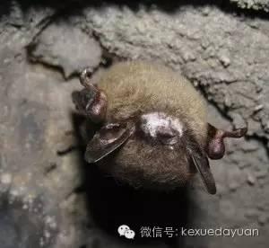 白鼻病蝙蝠