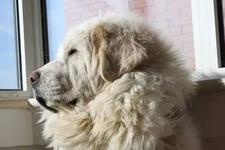 流言揭秘:狗狗剃毛能降温?