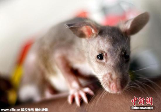 资料图:老鼠。图片来源:东方IC 版权作品 请勿转载