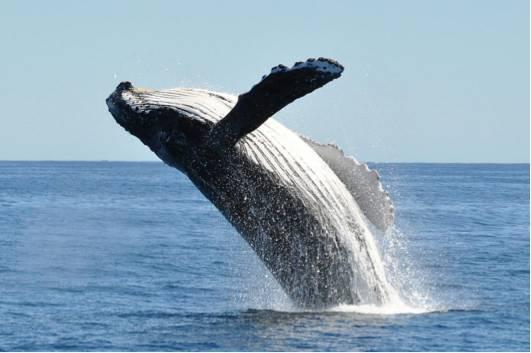 座头鲸鳍上的隆起结构赋予了其异乎寻常的敏捷性,它用在风力涡轮机上也能产生类似的效果。图片来源:Getty Images