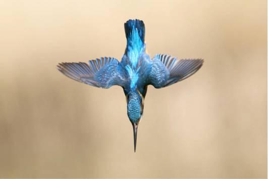 翠鸟潜入水中却不溅起水花,子弹头列车在设计上参考了其鸟喙的构型。图片来源:Getty Images