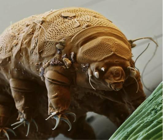 缓步类的水熊虫能够在恶劣条件下生存多年,这种能力启迪了一种新颖的活疫苗保存技术的诞生。图片来源:Eye Of Science/Getty Images