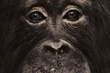 为何今天猿不会进化为人?它们是人类表亲不是祖先