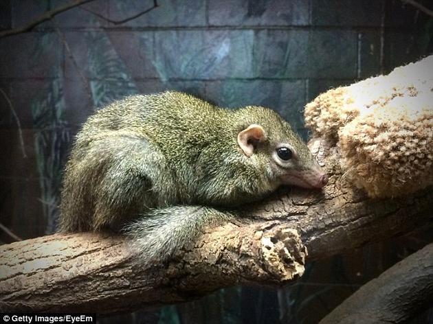 早期哺乳动物被认为是像鼩鼱一样的小型动物。