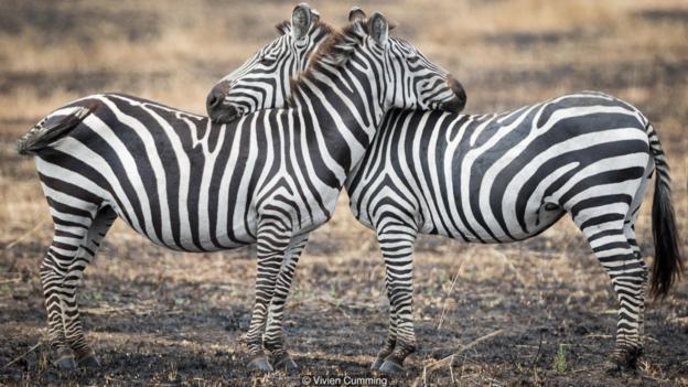 斑马会花时间爱抚伴侣