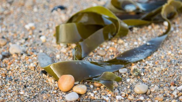 海藻是最早进行有性繁殖的生物体