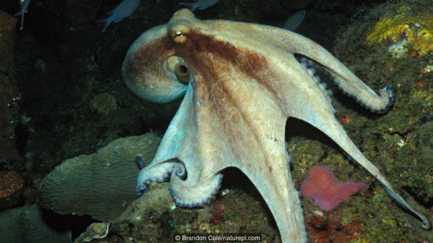 一只挪动中的真蛸(大名:Octopus vulgaris),该物种即平日所说的一般章鱼