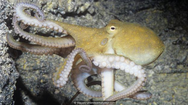 加州双斑蛸(大名:Octopus bimaculoides)