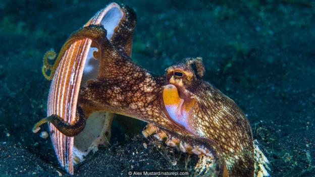 一只正在举起贝壳的条纹蛸(大名:Amphioctopus marginatus)