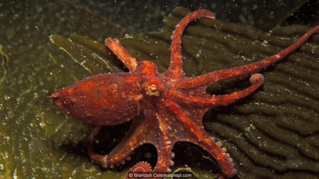 太平洋红蛸(大名:Octopus rubescens)