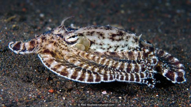 一只拟态章鱼(大名:Thaumoctopus mimicus)把本人假装成有毒的鳎鱼