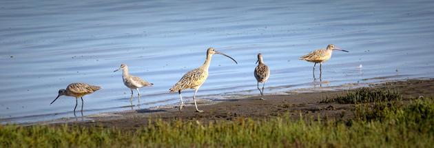 现生滨鸟类聚集在湖畔 摄影 Beedie Savage