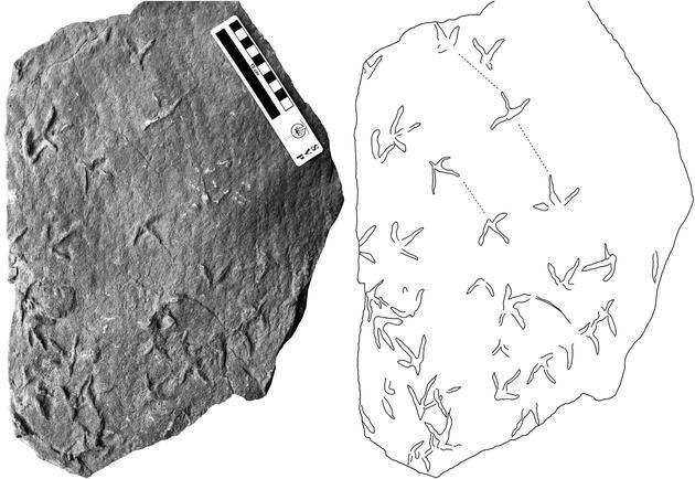 李氏韩国鸟足迹的化石