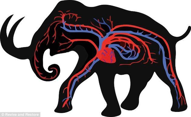 """该项目指出,将亚洲象""""改造""""成猛犸象的过程主要分为三步。首先,他们需要让亚洲象具备在低温时提高血氧水平的能力。"""