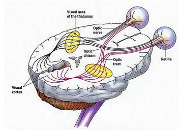 复杂的视神经网络。