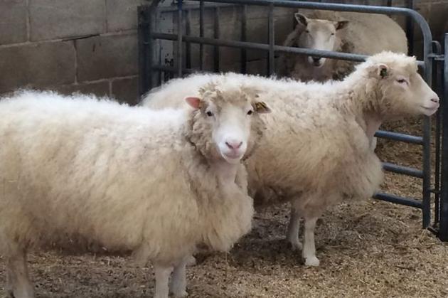 与多利克隆自同一母羊的三只克隆羊:德比、丹尼斯和黛安娜。