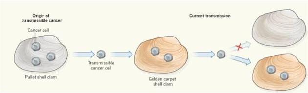 """图1  癌细胞可在不同贝类物种之间传播。在金蛤仔中发生的可传播癌症起源于另一个物种—小鸡蛤蜊。虽然两种蛤类共用一个栖息地,但目前仅在金蛤仔中检测到癌细胞,表明小鸡蛤蜊获得了抵抗这种癌症""""感染""""的能力。"""