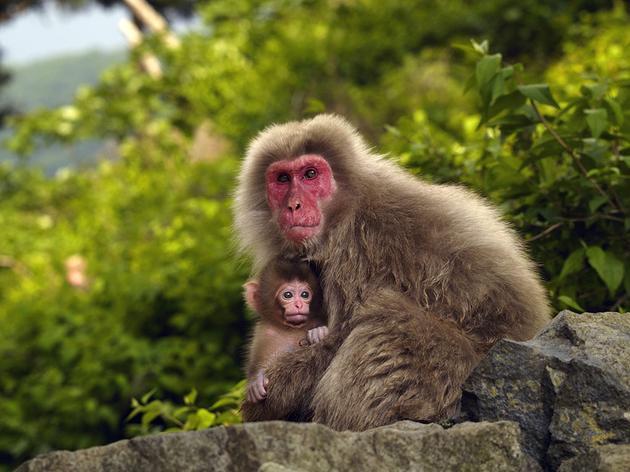日本猕猴资料图 (新浪科技配图)